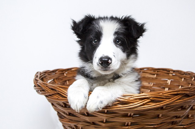 puppy, dogs, collie