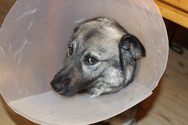 sick dog, elkhound, funnel