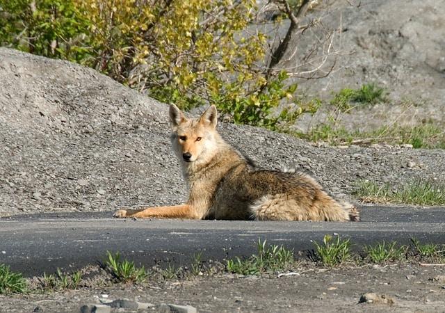 coyote, quadruped, animal