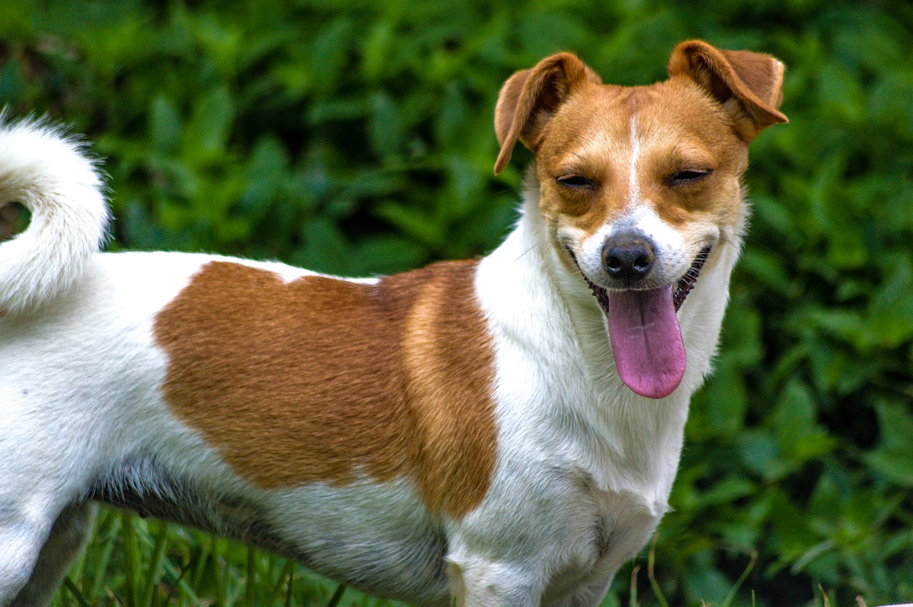 dog, jack, russell
