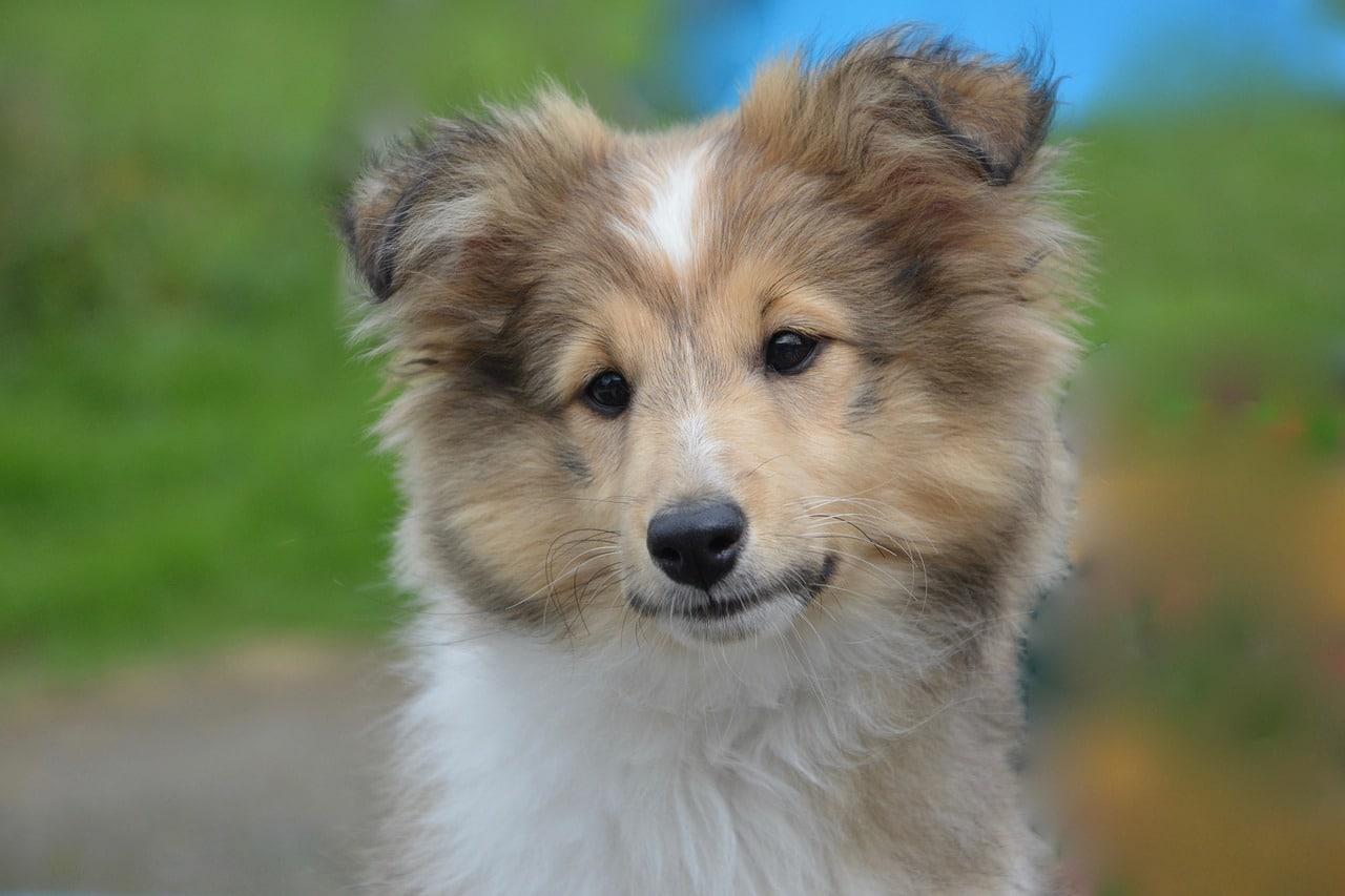 shetland sheepdog, young, puppy