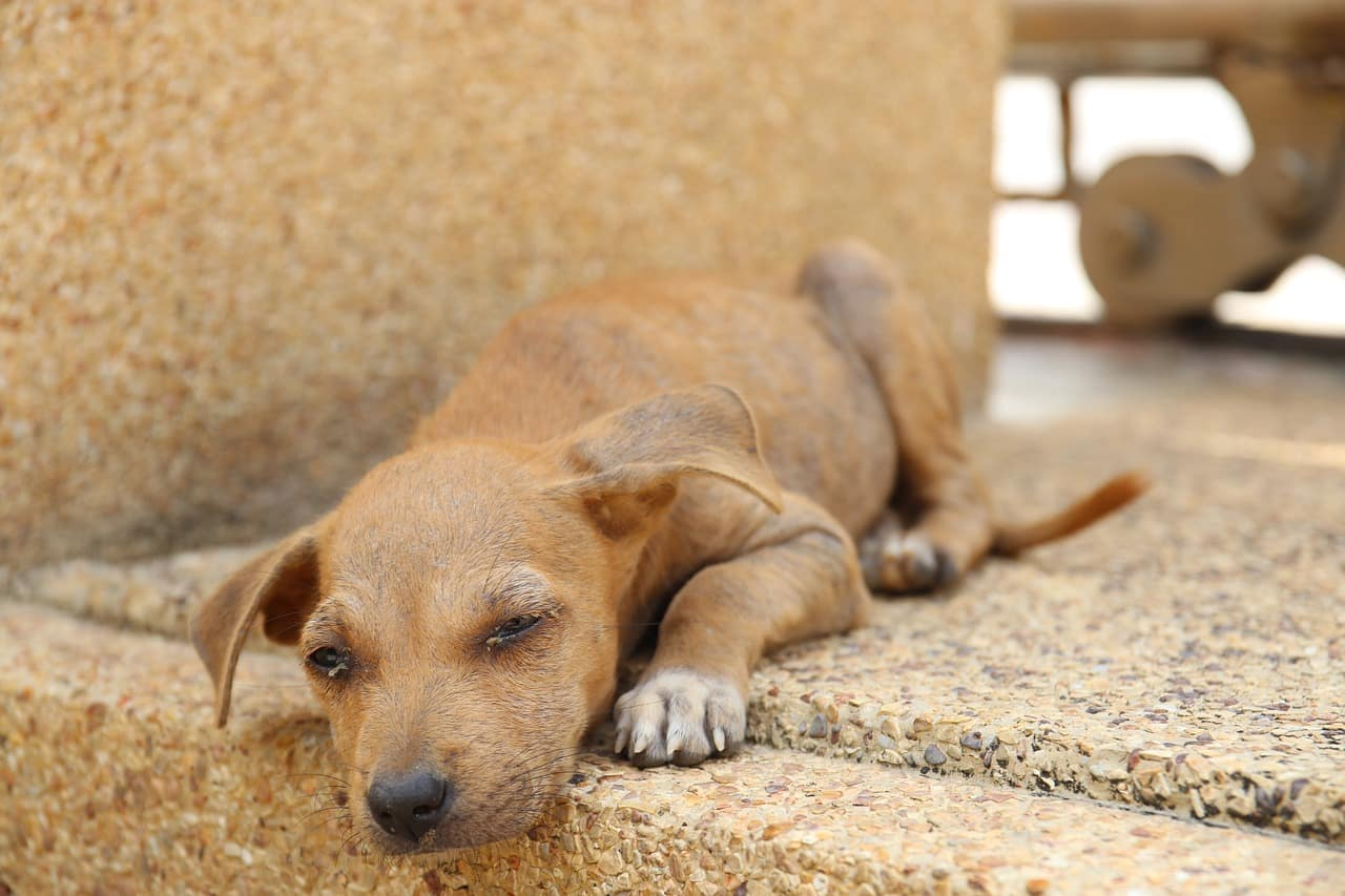 thailand, dog, stray dog