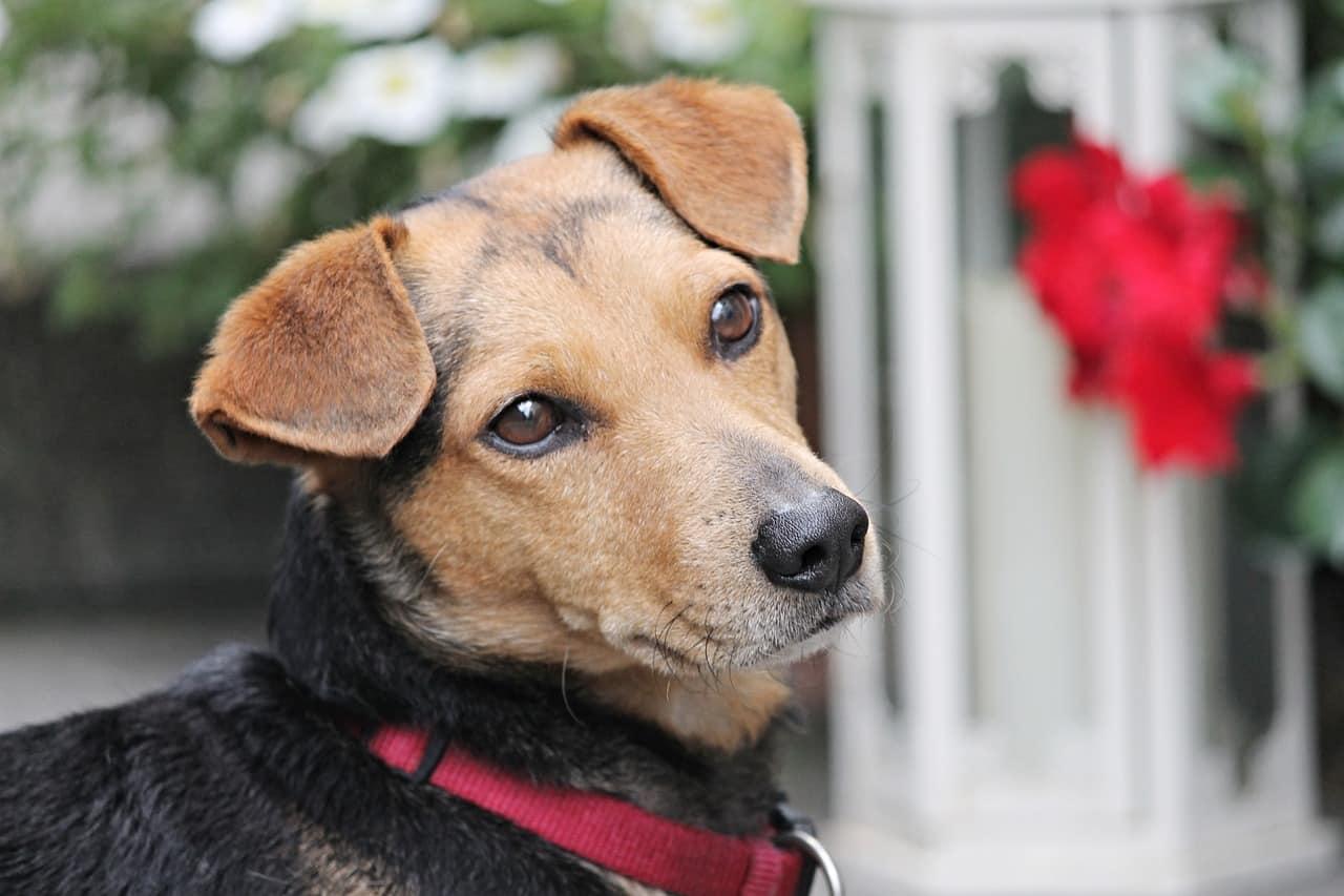 dog, hybrid, brown