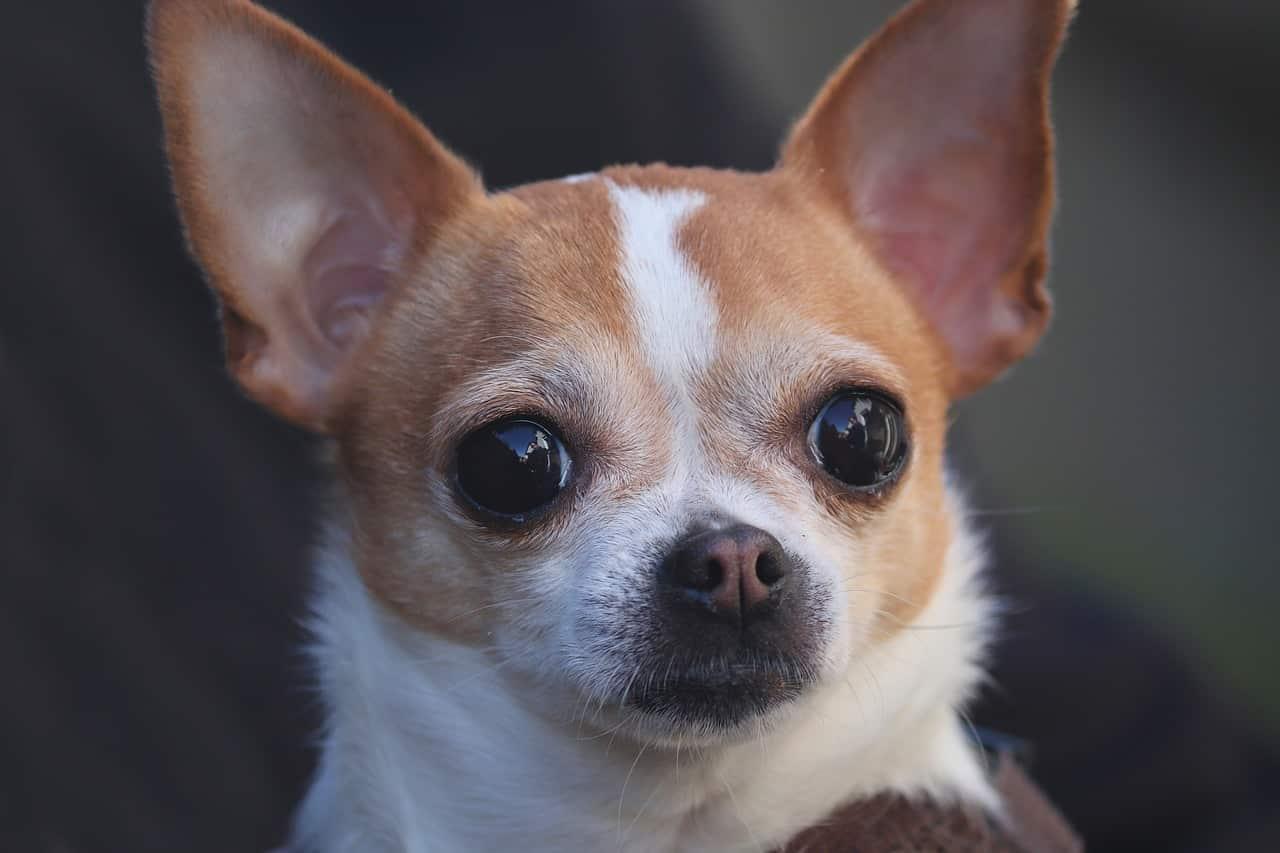 chihuahua, dog, portrait