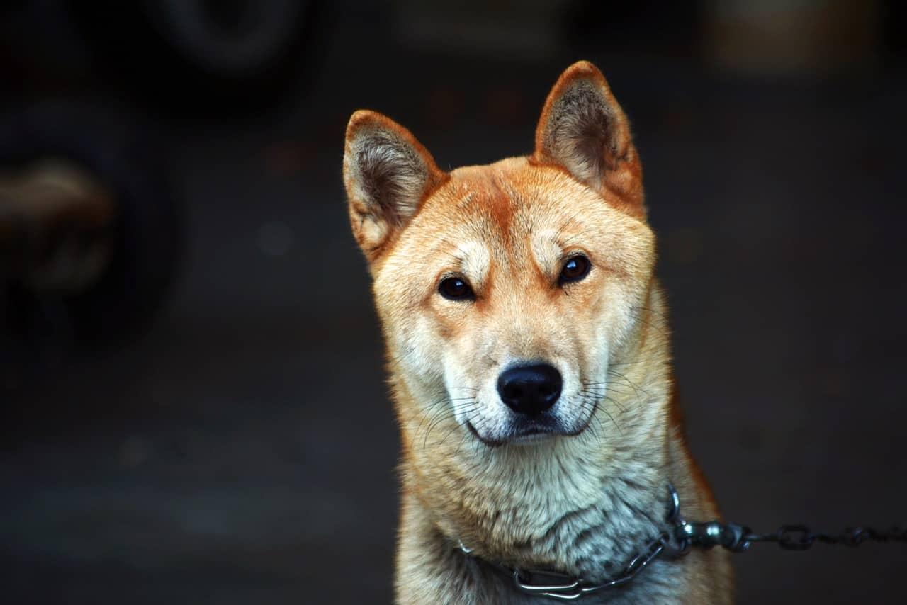 republic of korea, puppy, dog